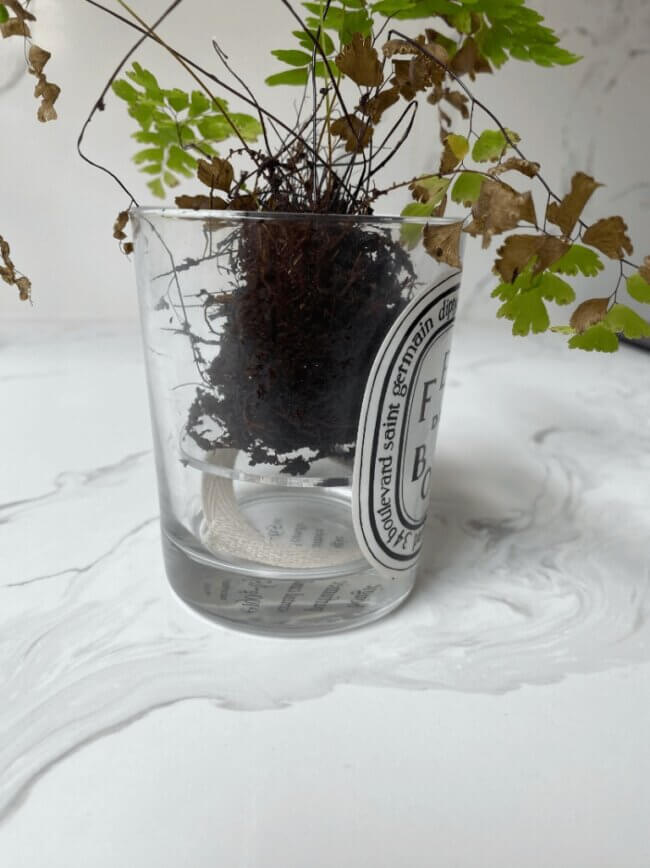 The plant and root ball added to the reused candle jar, waiting for additional soil to be added around the edges