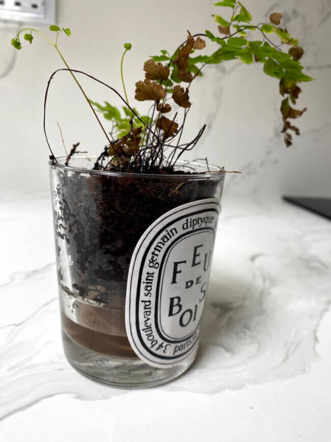 Once the plant was watered, the excess water collected in the bottom of the candle jar to gradually be soaked up by the string into the plant for a continuous water supply