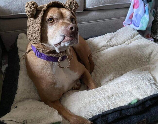 Bear hat for dogs